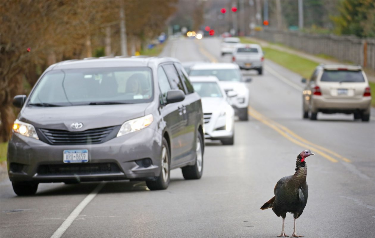 A wild turkey known as Tom is notorious for standing in the middle of Klein Road in Amherst.   He was there Thursday, Nov. 16, 2017, playing chicken in traffic near the intersection with Ayer Road. (Robert Kirkham/Buffalo News)