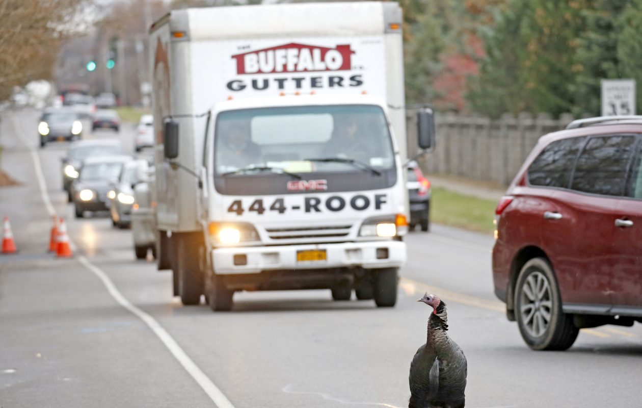 A wild turkey known as Tom is notorius for standing in the middle of Klein Road in Amherst. He was there Thursday, Nov. 16, 2017, playing chicken in traffic near the intersection with Ayer Road. (Robert Kirkham/Buffalo News)