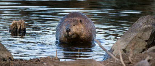 Growing beaver populations are causing trouble across the Southern Tier, the state Department of Environmental Conservation says. (U.S. Fish and Wildlife Service)