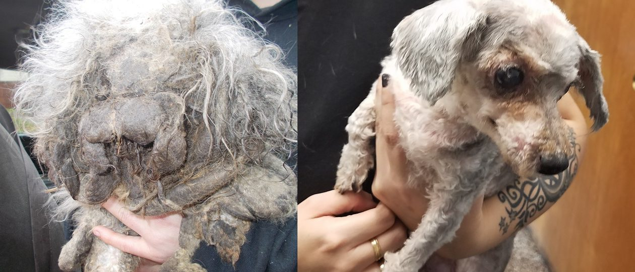 Mia, a toy poodle, was rescued from a fire in poor condition (left).  At right, after she was groomed and seen by a veterinarian. (Photos courtesy of Jamestown Police)