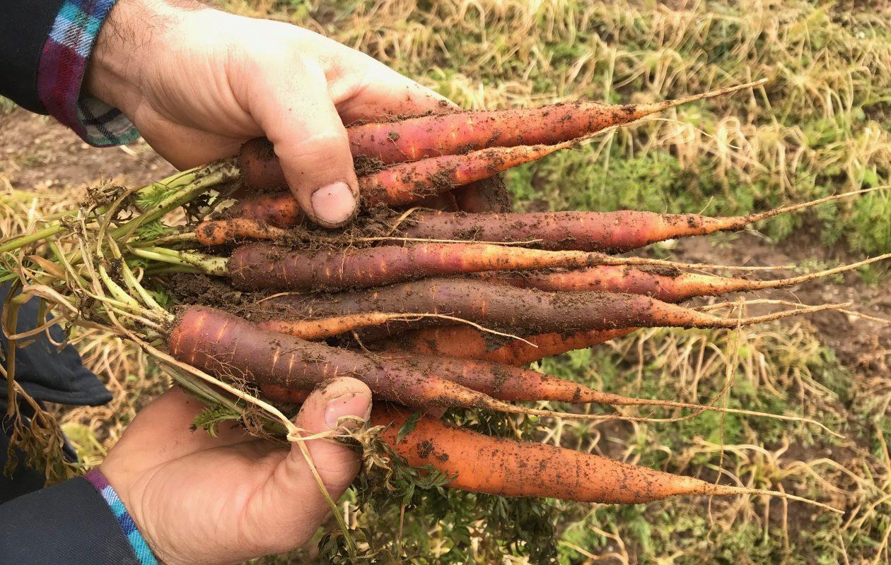 Carrots from Oles Family Farm. (Caitlin Hartney/Special to The News)