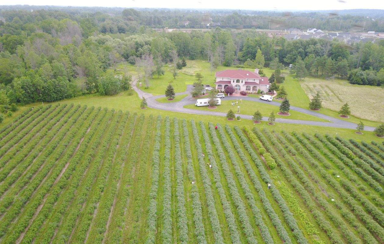 This photo shows an aerial view of the Clarence Blueberries U-pick farm on Shimerville Road, and the home that sits on the property. The owners have sold the property, the blueberry orchard and the home. (Photo courtesy Rajinder Basra)