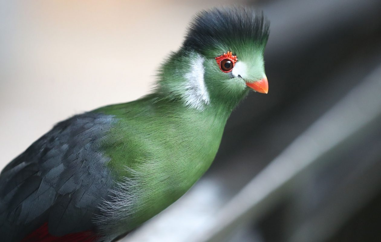 The white-cheeked turaco, from South Africa, hanging out at the Bird Kingdom in Niagara Falls, Ont. (Sharon Cantillon/Buffalo News)