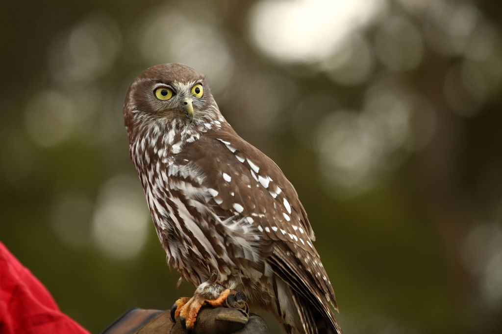 Superb Owl Saturday will be Feb. 3 at the Buffalo Audubon's Beaver Meadow Center in North Java. (Getty Images)