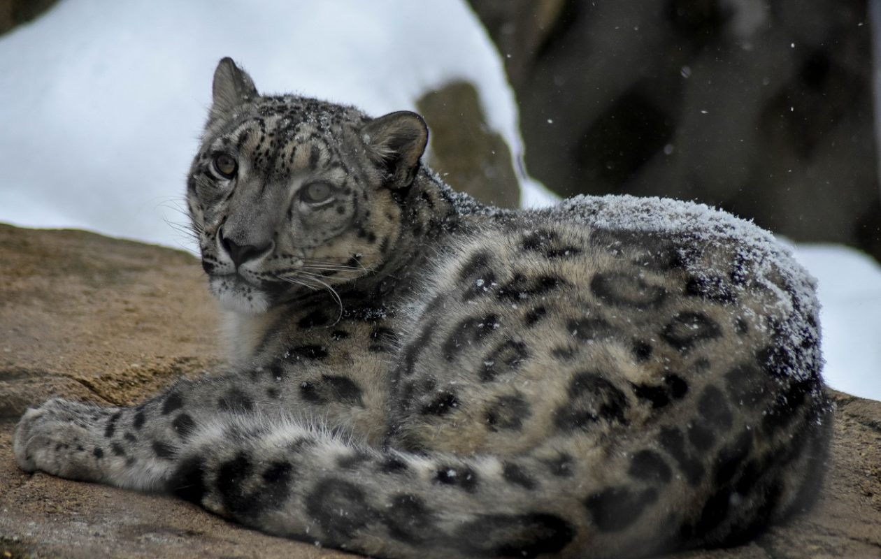 Altai, a 1-year-old male snow leopard, came to the Buffalo Zoo from the Akron Zoo. (Photo courtesy the Buffalo Zoo)