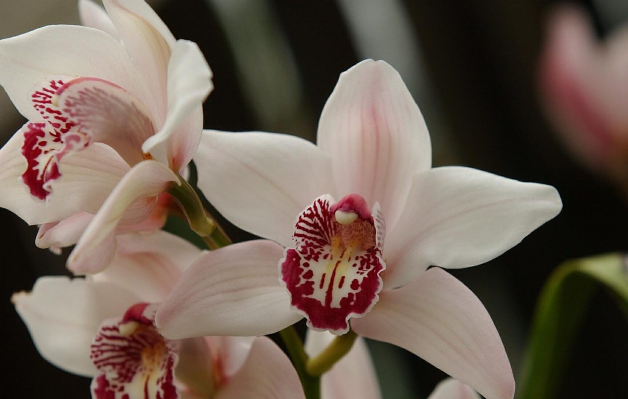 A cymbidium orchid is a real show-stopper. (News file photo)