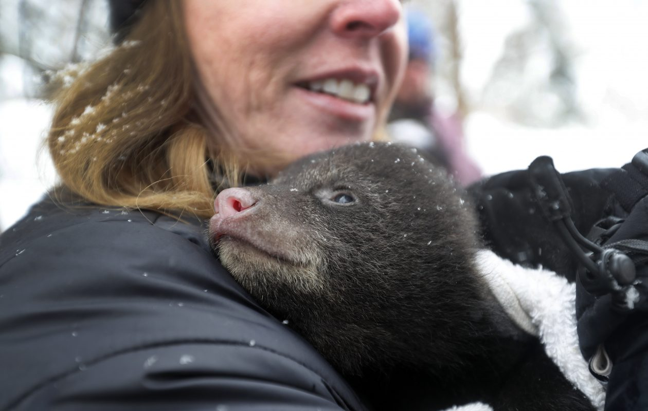 Racheal Smith, a state wildlife biologist, holds one of the three male cubs as scientists from the New York State Department of Environmental Conservation perform some research at a black bear den in Allegany last week. (Mark Mulville/Buffalo News)