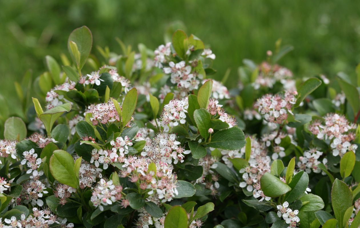 Aronia (Chokeberry) is a shrub that works well as part of a clustered layer for hedgerow or island. (via Proven Winners)