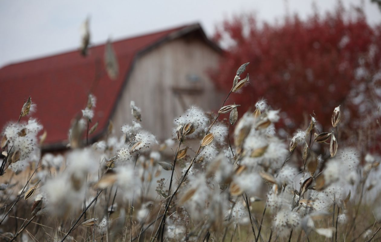 Milkweeds burst into seed in a field on Shimerville Road in Clarence. The native plant is key to the survival of the Monarch butterfly - and attracting them to a yard or garden.     {Sharon Cantillon/News file photo}