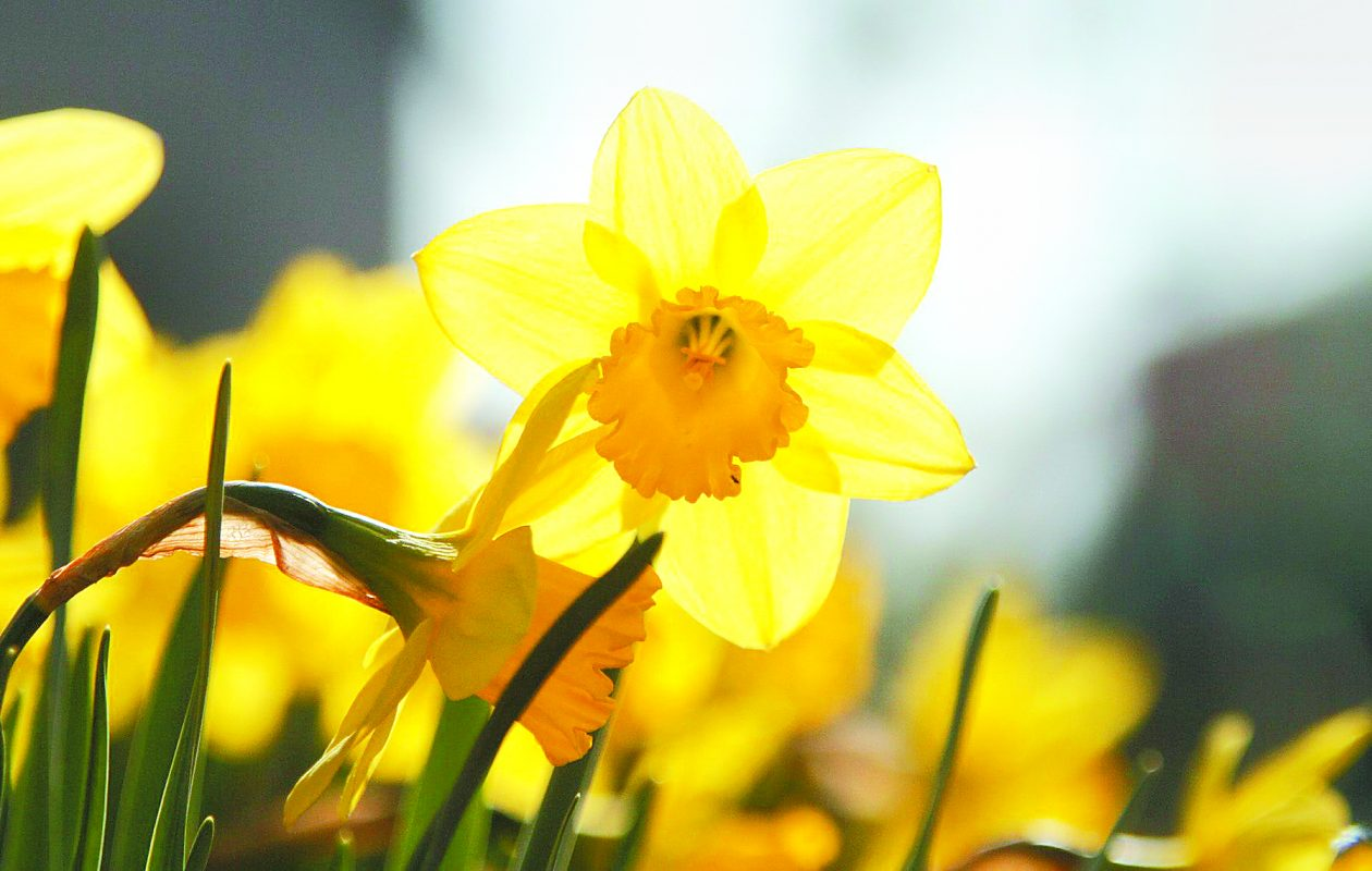 The sight of bright daffodils may inspire you to join a garden club. (John Hickey / News file photo)