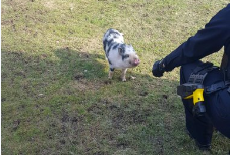 West Seneca Police are aware of the irony of their pursuit of a pet pig Thursday. (Provided by West Seneca Police Department)