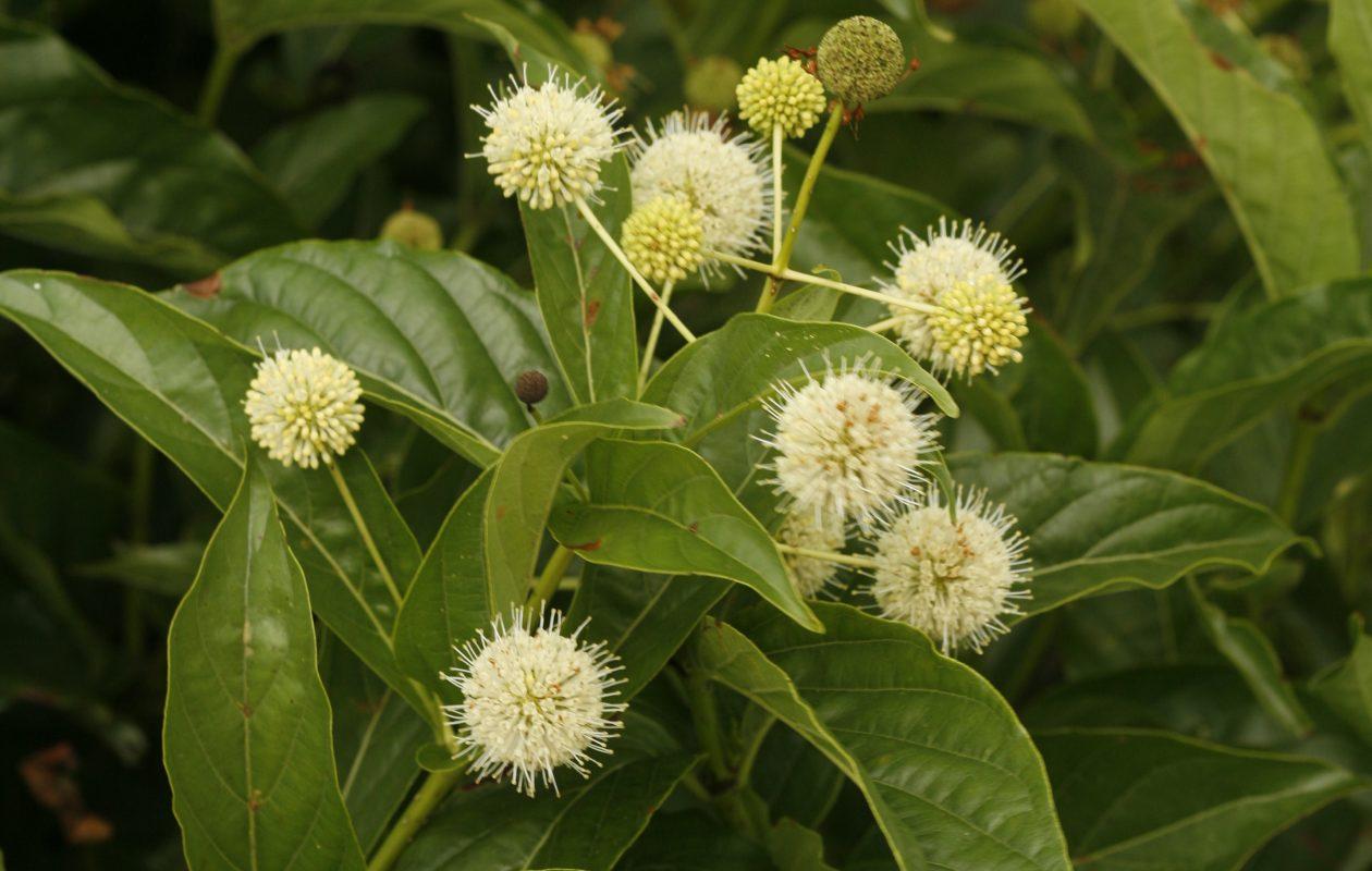 'Sugar Shack' Buttonbush (Cephalanthus occidentalis) is good for   rain gardens.' (Photo courtesy Proven Winners)