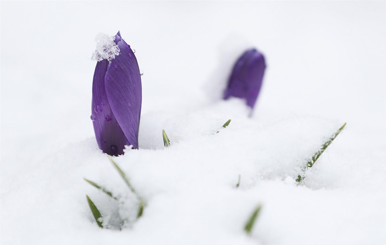 A crocus tries to withstand April snow. (Sharon Cantillon/The Buffalo News)