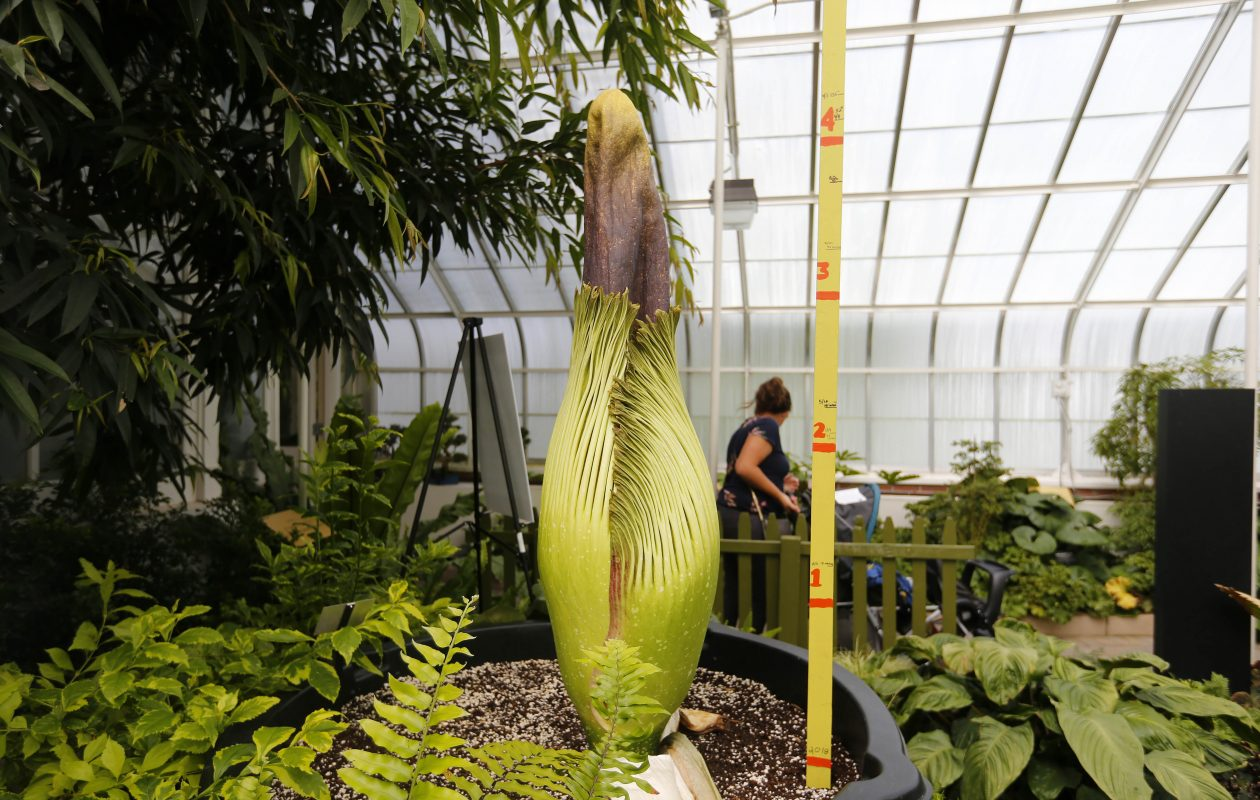 Morty the corpse flower, pictured at the Buffalo Botanical Gardens on Wednesday, June 6, 2018, before it bloomed. (Mark Mulville/Buffalo News)