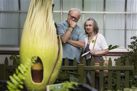The Buffalo and Erie County Botanical Gardens partially cut Morty the corpse flower open to show its female part opening prior to the male part on Tuesday, June 12, 2018.
