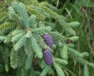 Picea_purpurea