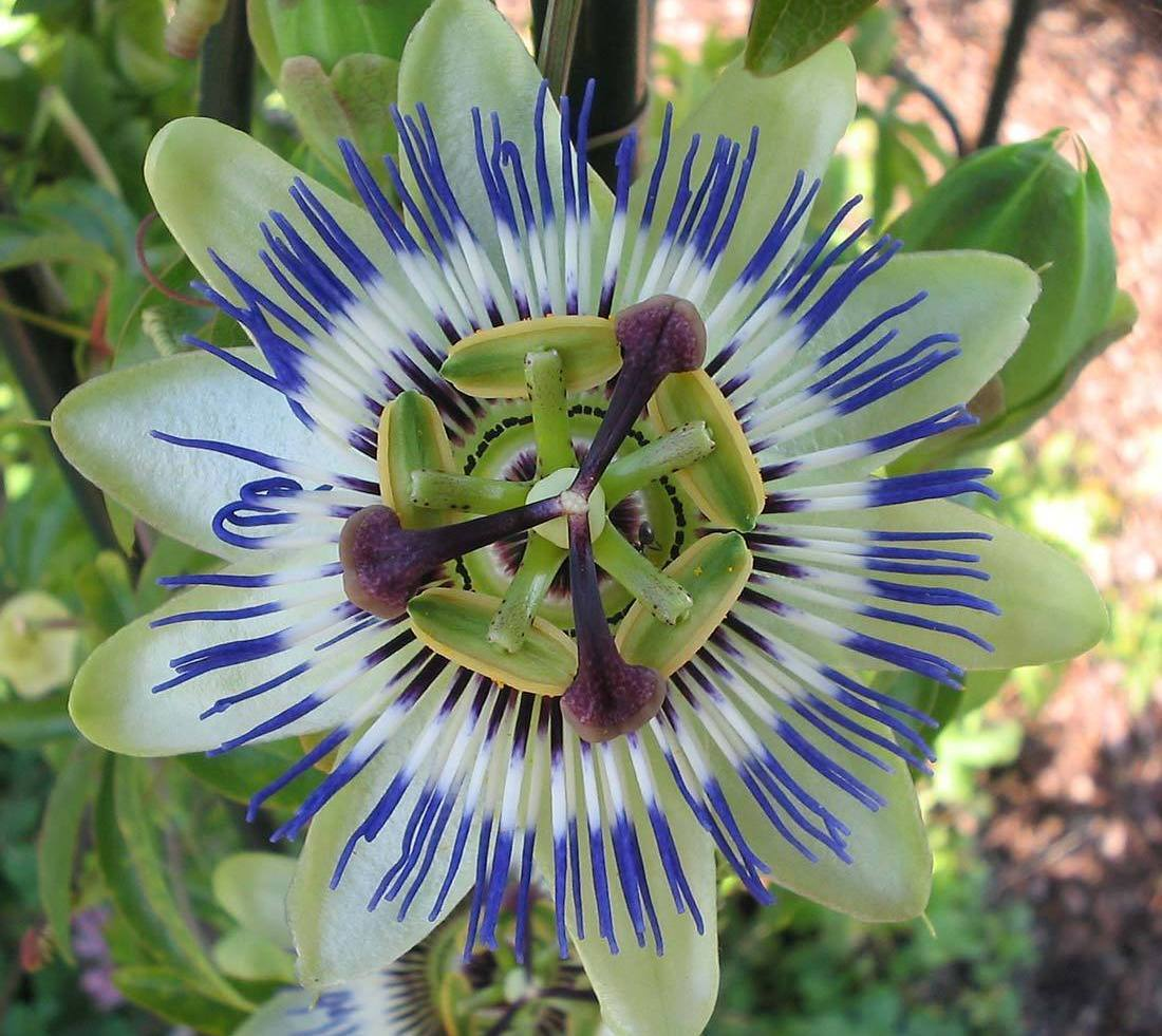 Passiflora caerulea (Blue Passion Flower ) 30 Seeds