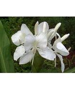 Hawaiian White Ginger Oil Perfume Rollette 6 mil - $7.99