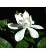 Gardenia Scented Oil Perfume Rollette 6 mil - $7.99