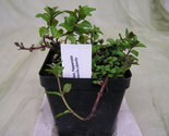 "Buy Herbs - ~ Live Peppermint Herb Plant ~ 4"" Pot ~"