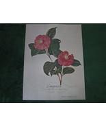 Empress Grandiflora Rosea  Camellia Portrait Dm... - $49.99