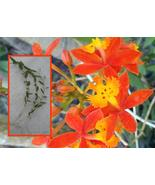 Everblooming Rare Crucifix Orchid- Epidendrum R... - $9.95