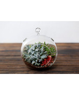 Succulent Terrarium Large Globe: Echeveria Tops... - €22,72 EUR