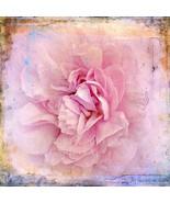 Pink Wild Rose Fine Art Photograph 30 x 30 Prin... - $150.00