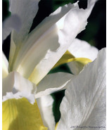 Creamy White Iris Fine Art Photograph 24 x 30 Y... - $150.00