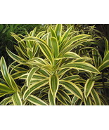 3 Dracaena reflexa Variegata ~Song of India~ Li... - $13.95