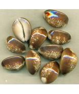 Sea Shell Shell Craft Snakehead Cowry - $16.99