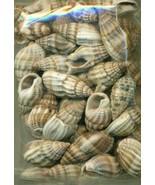 Sea Shell Craft Small Shells Lot  1 - $16.99