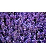LAVENDER FLOWER SEEDS - 25 FRESH SEEDS - $1.49