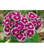 PINK SWEET WILLIAM FLOWER SEEDS - 100 FRESH SEEDS - $1.49