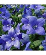 BLUE BALLOON FLOWER SEEDS - 25 FRESH SEEDS - $1.49