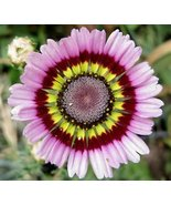 PAINTED TRI COLOR DAISY FLOWER SEEDS - 25 FRESH... - $1.49
