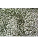 BABYS BREATH FLOWER SEEDS - 100 FRESH SEEDS - $1.49