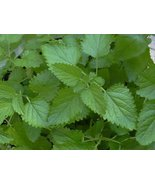 LEMON BALM HERB SEEDS - 30 FRESH SEEDS - $1.49