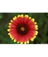 INDIAN BLANKET FLOWER SEEDS - 100 FRESH SEEDS -... - $1.49