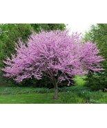 PINK REDBUD FLOWERING TREE SEEDS - 10 FRESH SEE... - $1.49