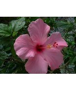 PINK HIBISCUS FLOWER SEEDS -15 FRESH SEEDS - $1.49