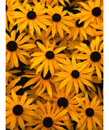 BLACK EYED SUSAN FLOWER SEEDS 100 SEED FRESH BL... - $1.49