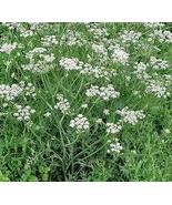 CARAWAY HERB PLANT SEEDS 50 FRESH SEEDS FREE SH... - $1.49
