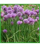 CHIVES HERB SEEDS - 100 FRESH SEEDS - $1.49