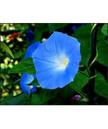 HEAVENLY BLUE MORNING GLORY SEEDS - 25 FRESH SEEDS - $1.49