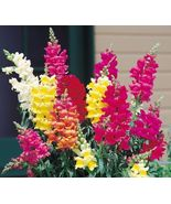 SNAP DRAGON FLOWER SEEDS 50 FRESH SEEDS SNAPDRA... - $1.49