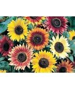 AUTUMN BEAUTY SUNFLOWER SEEDS - 25 FRESH FLOWER... - $1.49