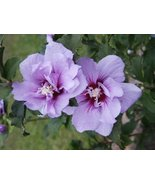 PURPLE ROSE OF SHARON SEEDS - 15 FRESH SEEDS - $1.49
