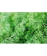 DILL HERB SEEDS 50 FRESH SEEDS FREE SHIPPING GA... - $1.49
