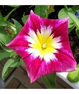 CONVOLVULUS RED ENSIGN MORNING GLORY FLOWER SEE... - $1.49